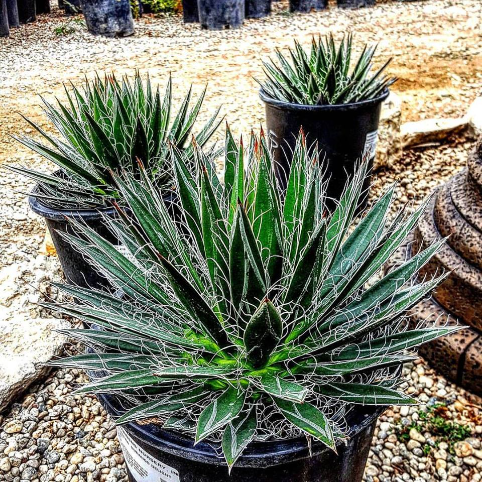 Elegant Gardens Provides A Wide Selection Of Water Wise Plants Here Is Just Sample